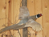 Flying Pheasant Mounted on Fence Post